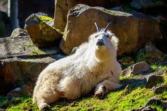 Rocky Mountain Goat. Roams and rests on the mountain slope stock photos