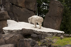 Rocky Mountain Goat on Rocks Stock Image