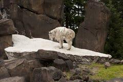 Rocky Mountain Goat on Rocks. Shedding White mountain goat standing on rocks in Oregon Zoo Stock Image