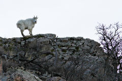 Rocky Mountain Goat Royalty Free Stock Photography