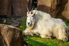 Rocky Mountain Goat Royalty Free Stock Image