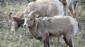 Rocky Mountain Goats Stock Photos