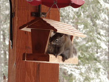 Rocky Mountain ground squirrel on feeding station, Stock Image
