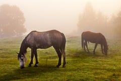 Rocky Mountain horse Royalty Free Stock Photo