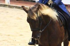 Rocky Mountain Horse och ryttare Royaltyfria Bilder