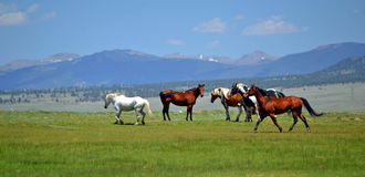 Rocky Mountain Horses. Horses running in the Rocky Mountains of Colorado royalty free stock image
