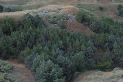 Rocky Mountain Junipers in Valley. Rocky Mountain Juniper (Juniperus scopulorum) trees in the valleys of the shortgrass prairie royalty free stock photography