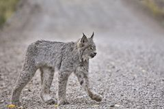 Rocky Mountain Lynx Royalty Free Stock Image