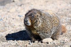 Rocky Mountain Marmot Royalty Free Stock Image