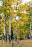 Rocky Mountain Park Aspens Arkivfoton