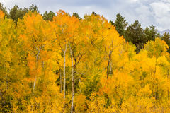Rocky Mountain Park Aspens Fotos de archivo