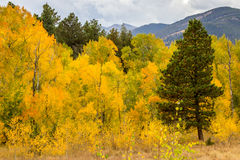 Rocky Mountain Park Aspens. Rocky Mountain National Park Fall River Road Aspens in the fall Royalty Free Stock Images