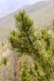 Rocky Mountain Pine. A pine tree branch in Colorado Royalty Free Stock Photos