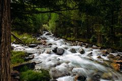 Rocky mountain river among the pine trees. Beautiful fast-flowing river in the coniferous forest. The wild nature of Altai. Rocky mountain river among the pine royalty free stock image