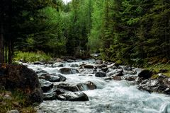 Rocky mountain river among the pine trees. Beautiful fast-flowing river in the coniferous forest. The wild nature of Altai. Altay stock image