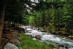 Rocky mountain river among the pine trees. Beautiful fast-flowing river in the coniferous forest. The wild nature of Altai.  stock photos