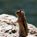 Rocky Mountain Rodent. A rodent poses on a rock outcrpping in Rocky Mountain Nation Park in Colorado Royalty Free Stock Photo