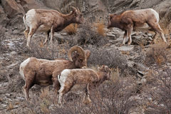 Rocky Mountain Sheed Royalty Free Stock Photo