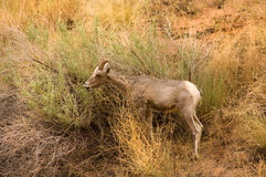 Rocky Mountain Sheep Royalty Free Stock Image