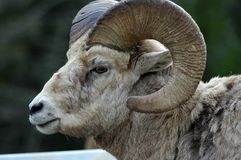 Rocky Mountain Sheep. Big ram showing his horns off Royalty Free Stock Photos