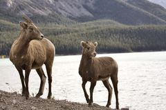 Rocky Mountain Sheep Royalty Free Stock Photography