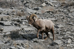 Rocky Mountain Sheep Stock Images