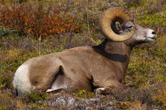 Rocky Mountain Sheep 3 Stock Photos