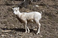 Rocky Mountain Sheep Stockbild