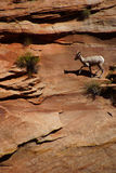 Rocky Mountain sheep  against bright blue sky Royalty Free Stock Images