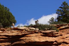 Rocky Mountain sheep  against bright blue sky Stock Image