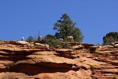 Rocky Mountain sheep  against bright blue sky Royalty Free Stock Photos