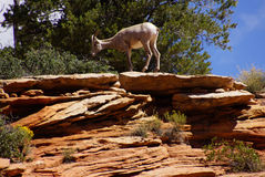 Rocky Mountain sheep  against bright blue sky Royalty Free Stock Image