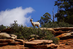 Rocky Mountain sheep  against bright blue sky Royalty Free Stock Photos