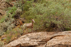 Rocky Mountain sheep Royalty Free Stock Images