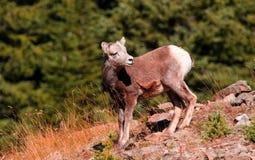 Rocky Mountain Sheep juvénile appréciant le soleil ! Photographie stock libre de droits