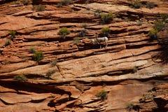 Rocky Mountain sheep  ( Ovis canadensis ) climbing Royalty Free Stock Photos
