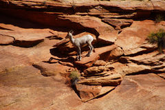 Rocky Mountain sheep  ( Ovis canadensis ) climbing Royalty Free Stock Photography