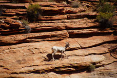 Rocky Mountain sheep  ( Ovis canadensis ) climbing Stock Images