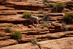 Rocky Mountain sheep  ( Ovis canadensis ) climbing Royalty Free Stock Image
