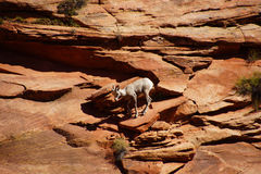 Rocky Mountain sheep  ( Ovis canadensis ) climbing Stock Photo