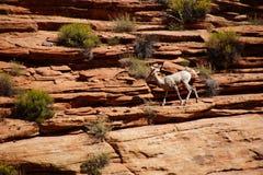 Rocky Mountain sheep  ( Ovis canadensis ) climbing Stock Photo