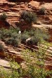 Rocky Mountain sheep Stock Photo