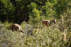 Rocky Mountain sheep  ( Ovis canadensis )  grazing Royalty Free Stock Images