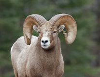 Rocky Mountain Sheep Ram. A Rocky Mountain Sheep with pine branch stuck in one horn and forest background Royalty Free Stock Photography