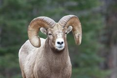 Rocky Mountain Sheep Ram. A Rocky Mountain Sheep with pine branch stuck in one horn and forrest background Royalty Free Stock Images