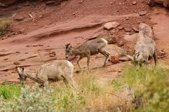 Rocky Mountain sheep Stock Image