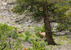 Rocky Mountain Sheep Royalty Free Stock Photos