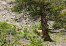 Rocky Mountain Sheep Royalty Free Stock Photos