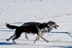Rocky Mountain Sled Dog Championships emballant le traîneau  images libres de droits
