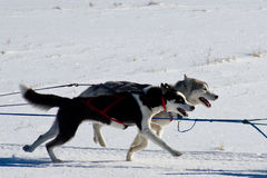 Rocky Mountain Sled Dog Championships tävlings- släde  Royaltyfria Bilder